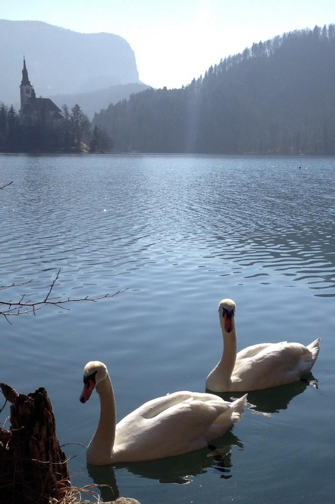 cygnes sur le lac Bled, village carte postale en Slovénie