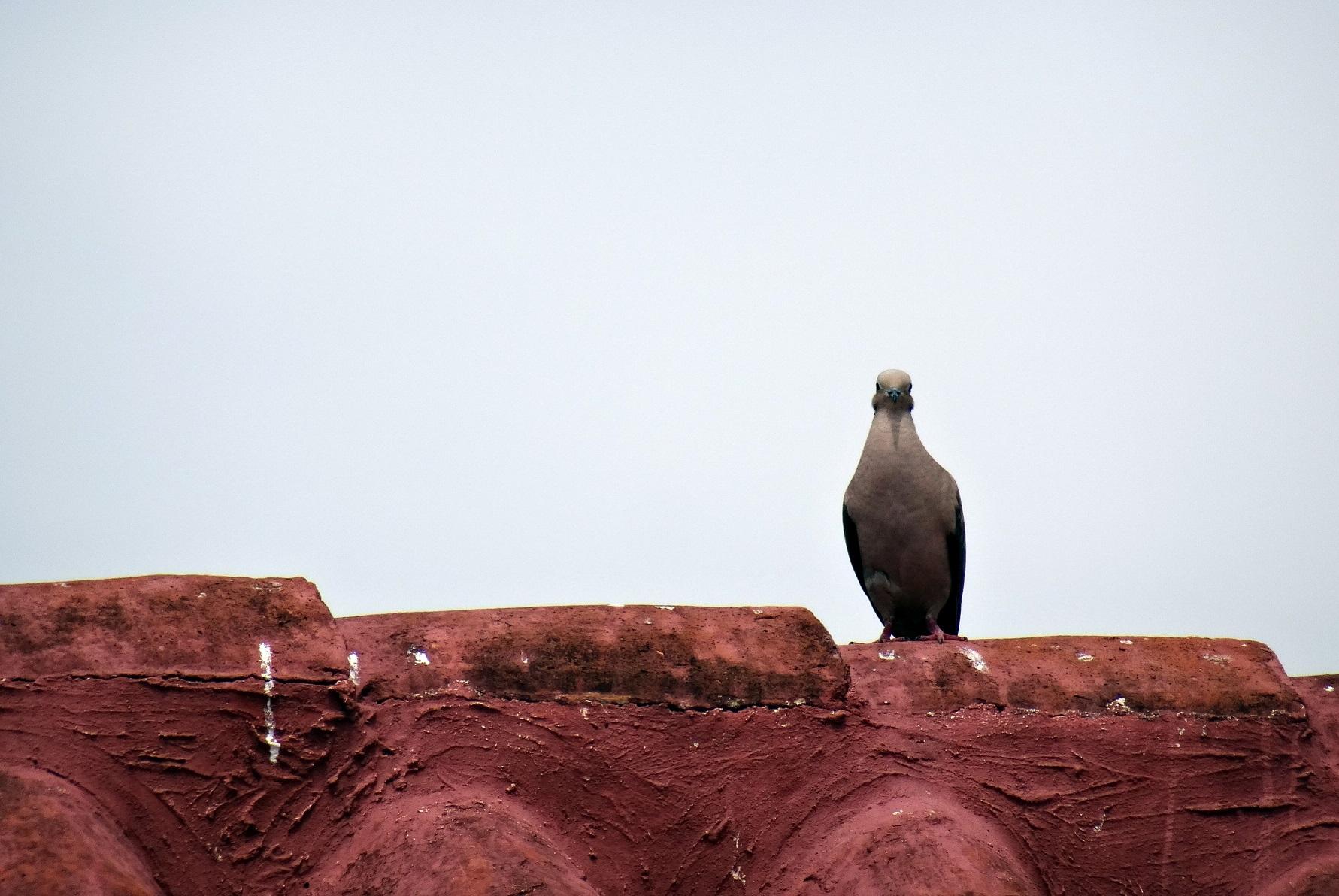 Oiseau sur les toits de Carthagène des Indes