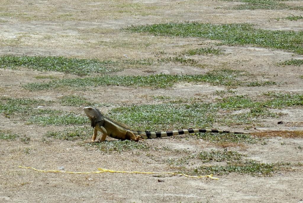 Iguane au camping de Cabo San Juan Tayrona en Colombie
