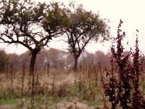Verger de pommes bios en Belgique