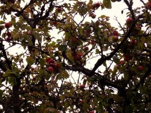 Pommes bios dans les arbres