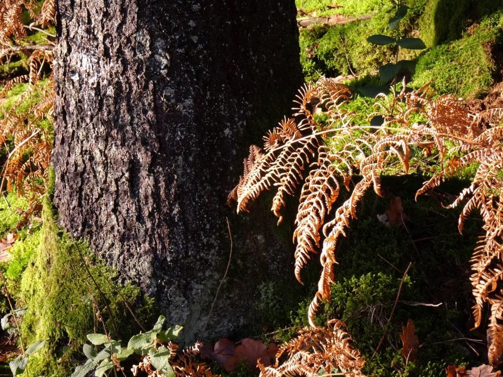 Fougère au soleil en Ardenne