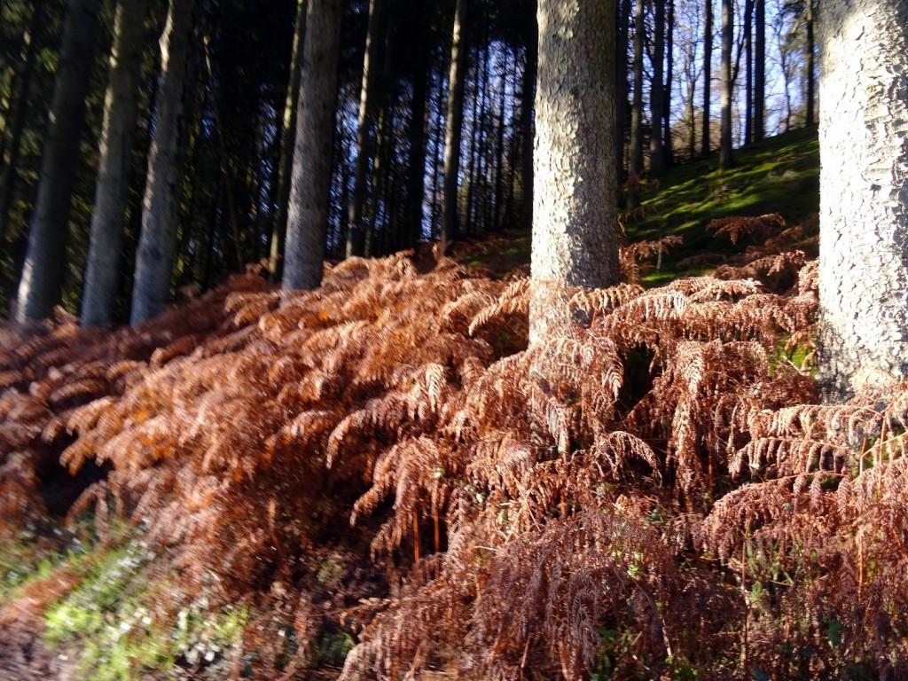 Fougères brunes dans une forêt d'Ardenne Belge