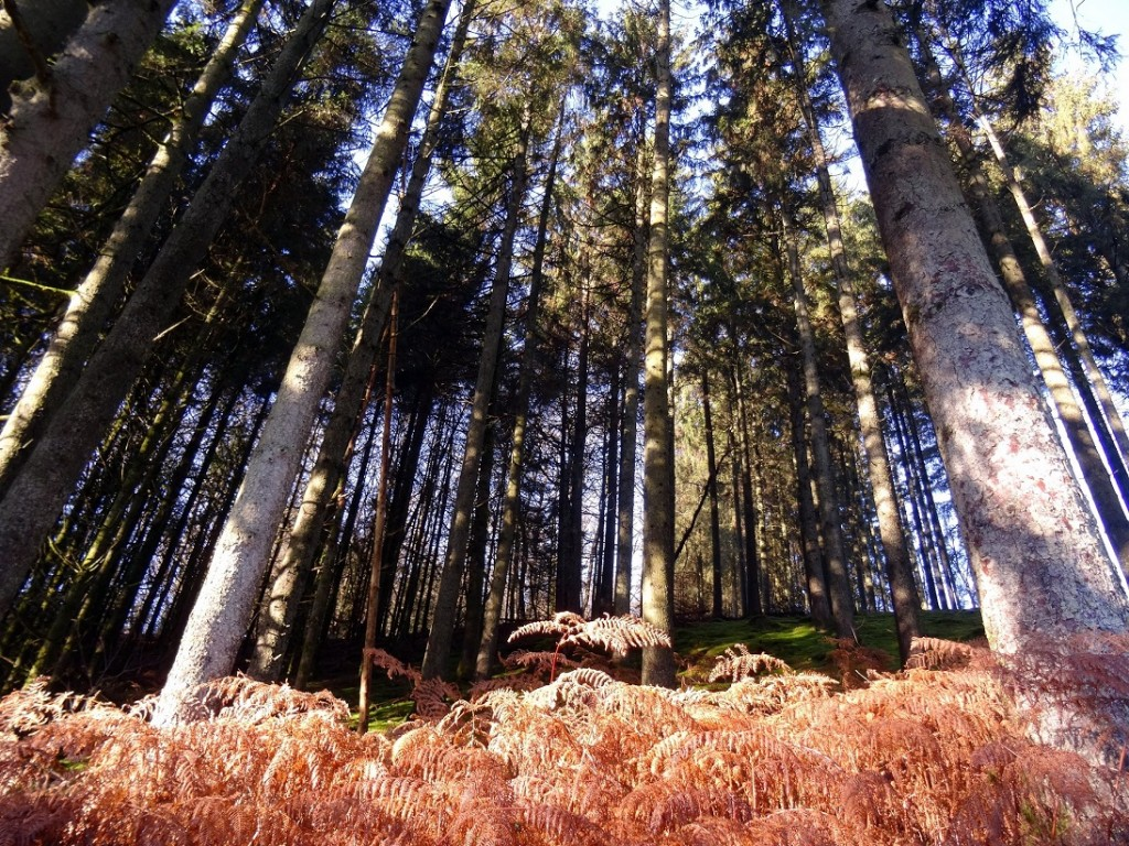 Fougères et épicéas en Ardenne Belge