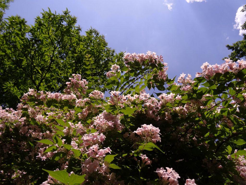 rhododendrons et ciel bleu