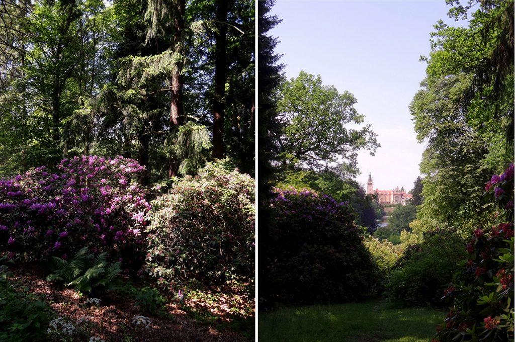 rhododendrons par milliers au parc de Pruhonice
