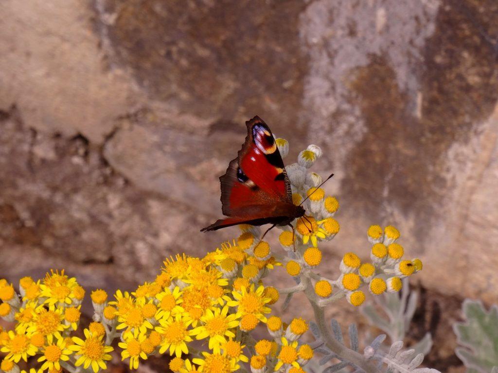 Un papillon sur des fleurs jaunes