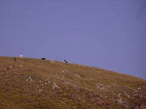 Des vaches sur le haut d'une colline dans le Tyrol
