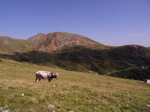 Une vache et les montagnes du tyrol