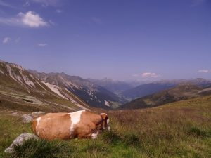 Une vache et les montagnes des Alpes italiennes