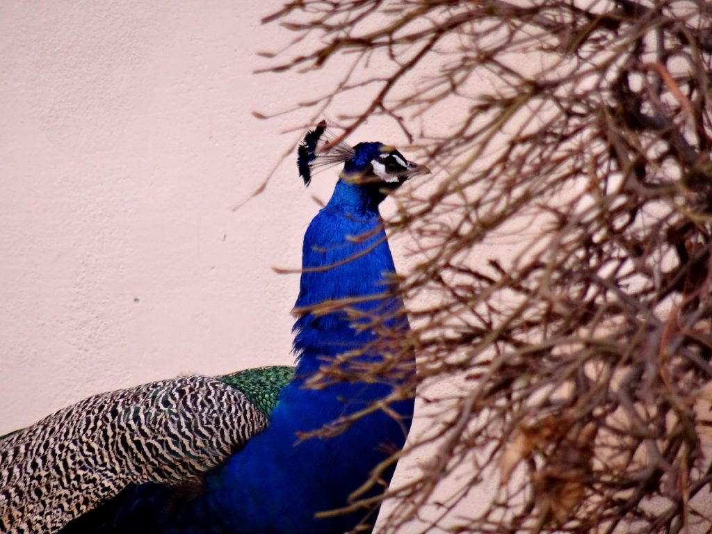 Un paon se cache dans le parc de Wallenstein