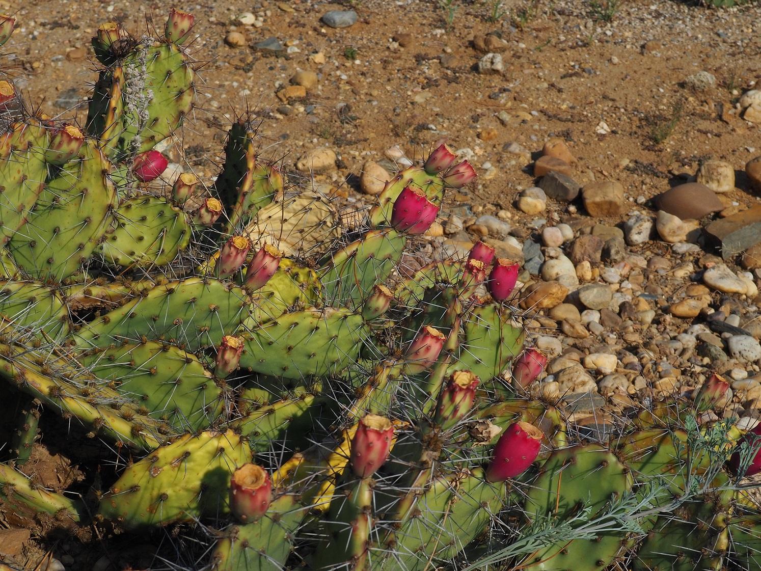 Cactus au jardin botanique de Prague