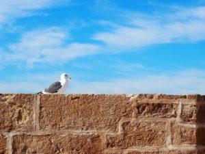 Une mouette à Essaouira