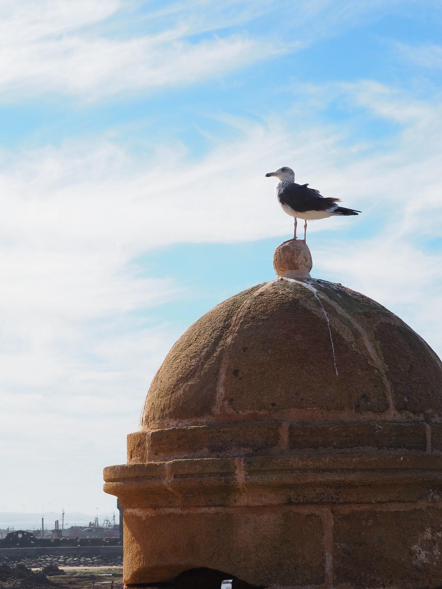 Mouette aux remparts d'Essaouira