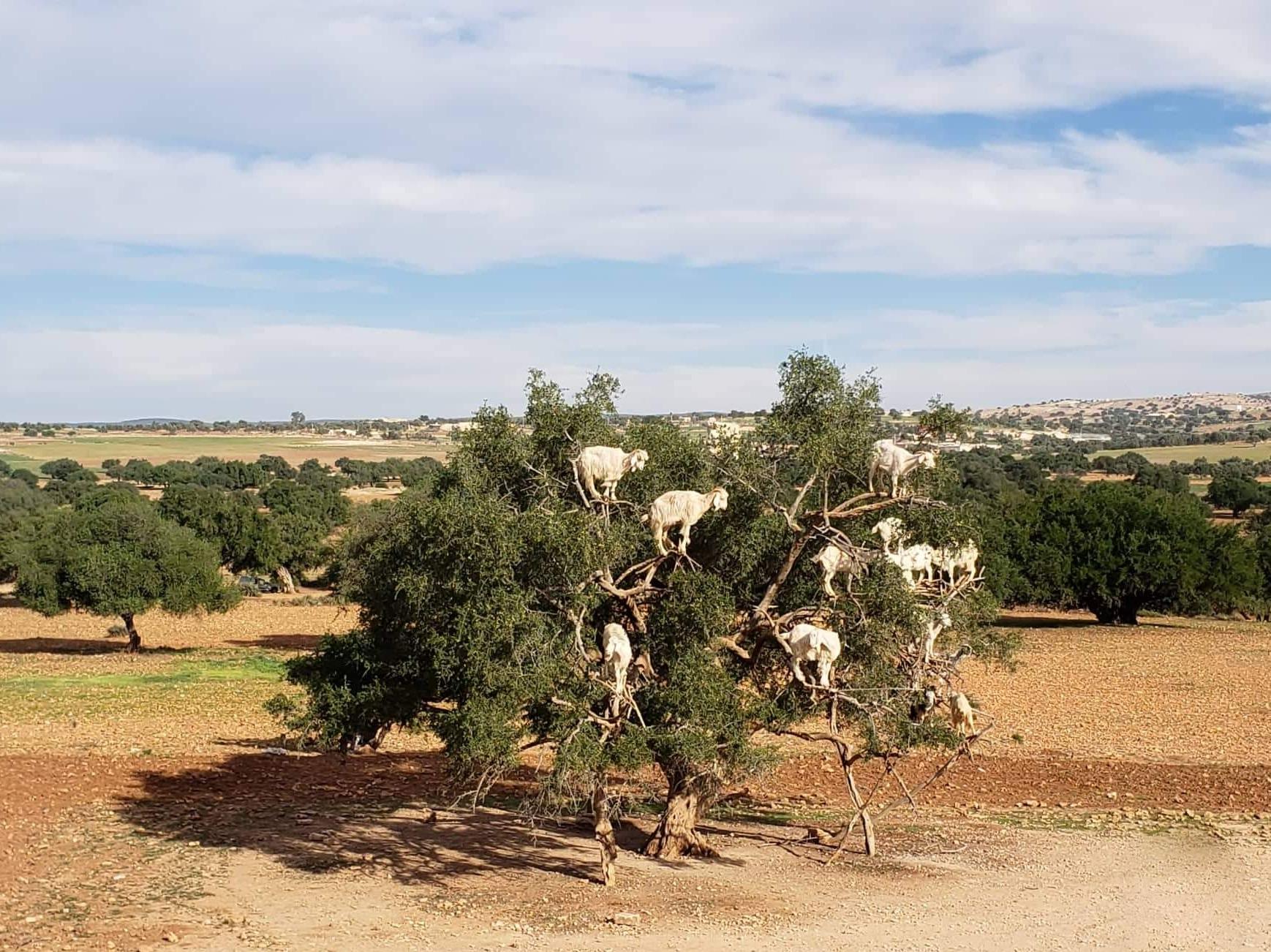 Chèvres dans un arganier au Maroc entre Marrakech et Essaouira