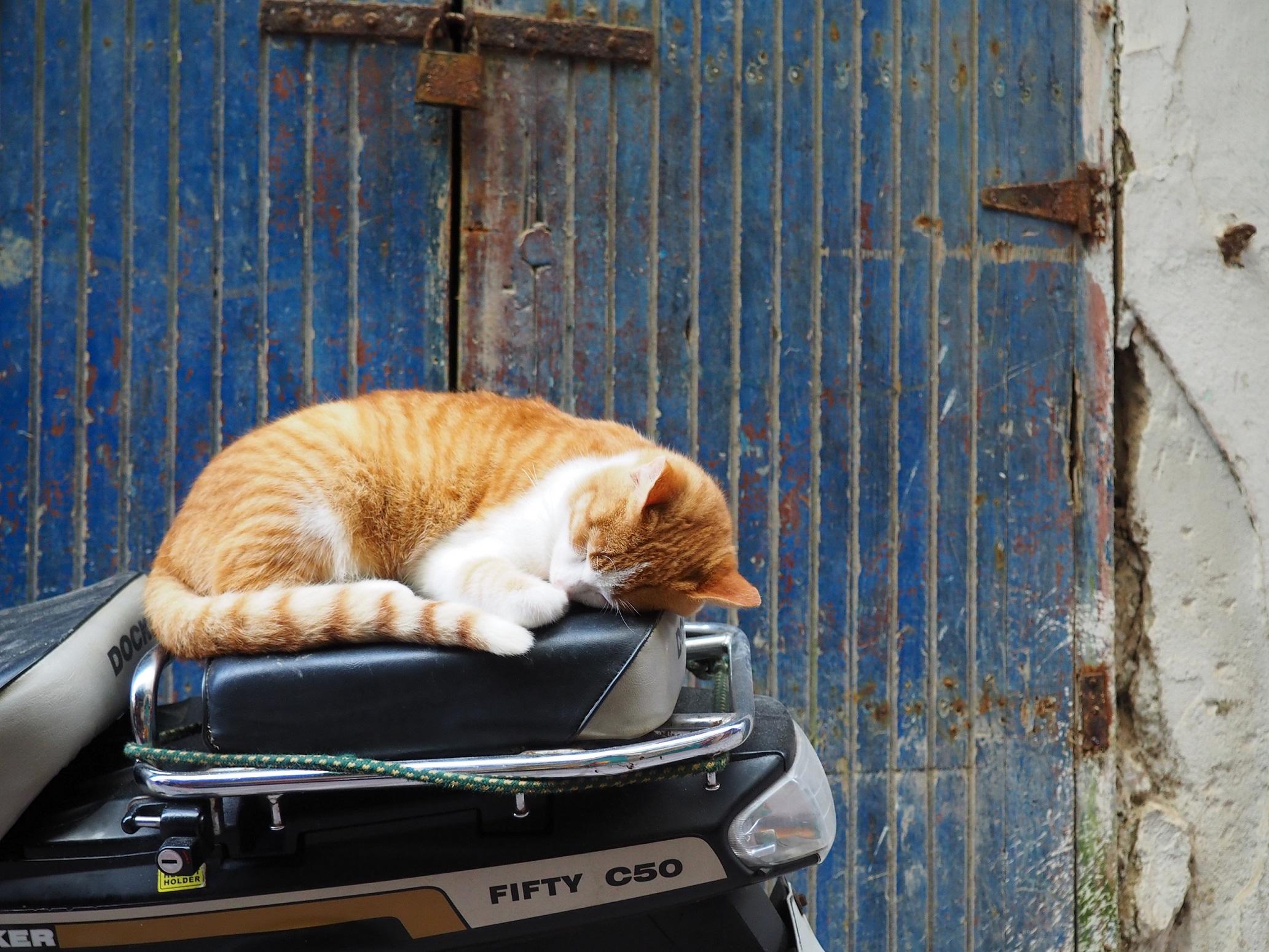 Jolie chat qui dort à Essaouira