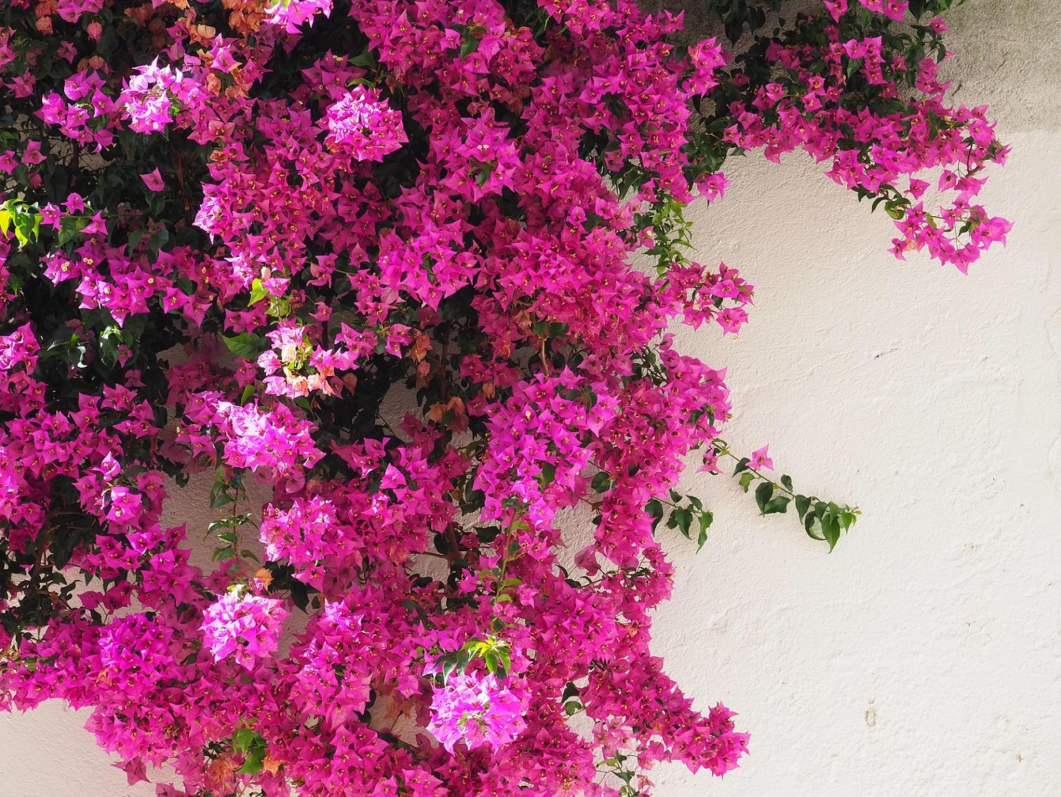 Lisbonne et ses arbres en fleurs