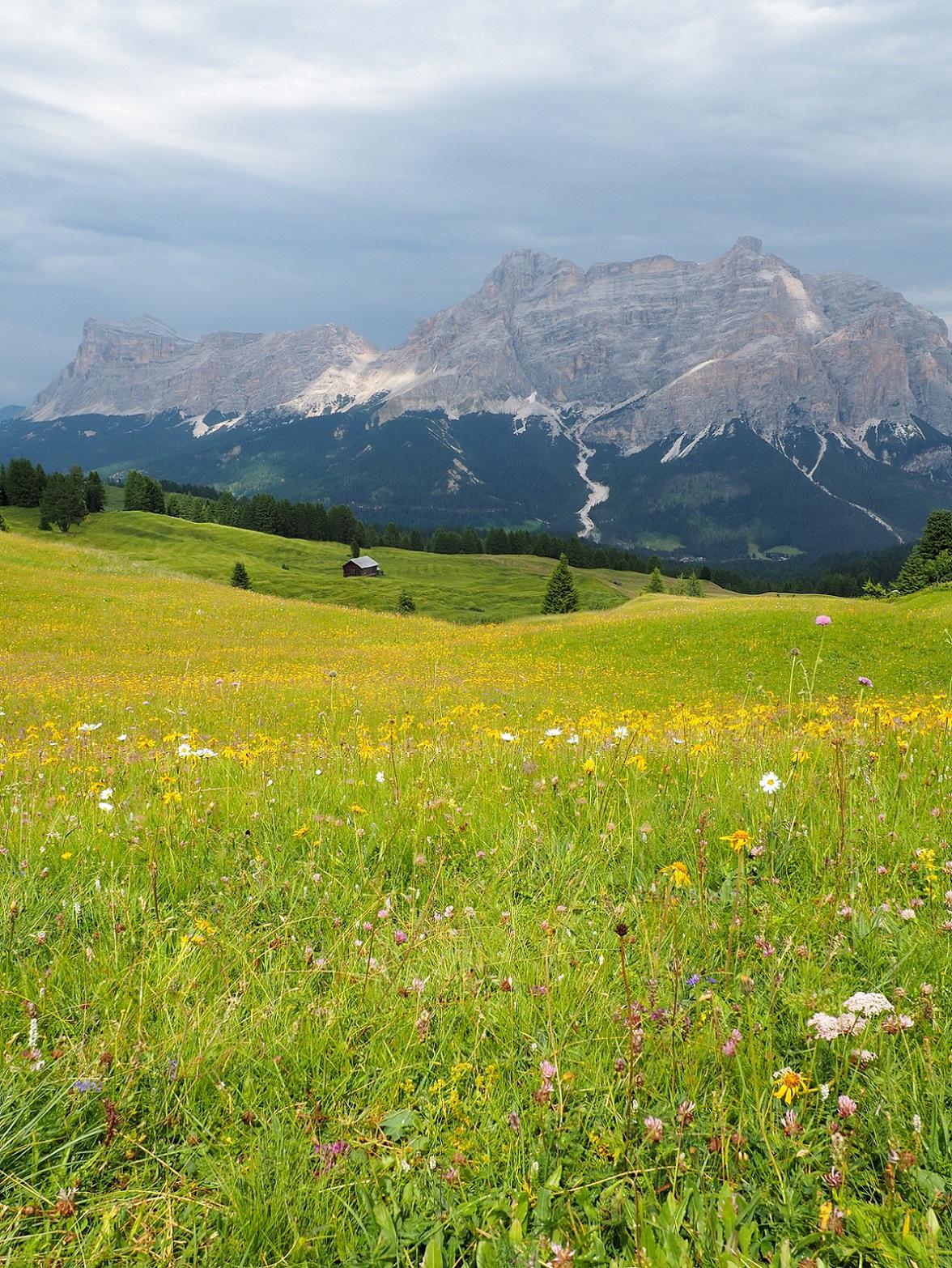 Fleurs sauvages dans les Dolomites