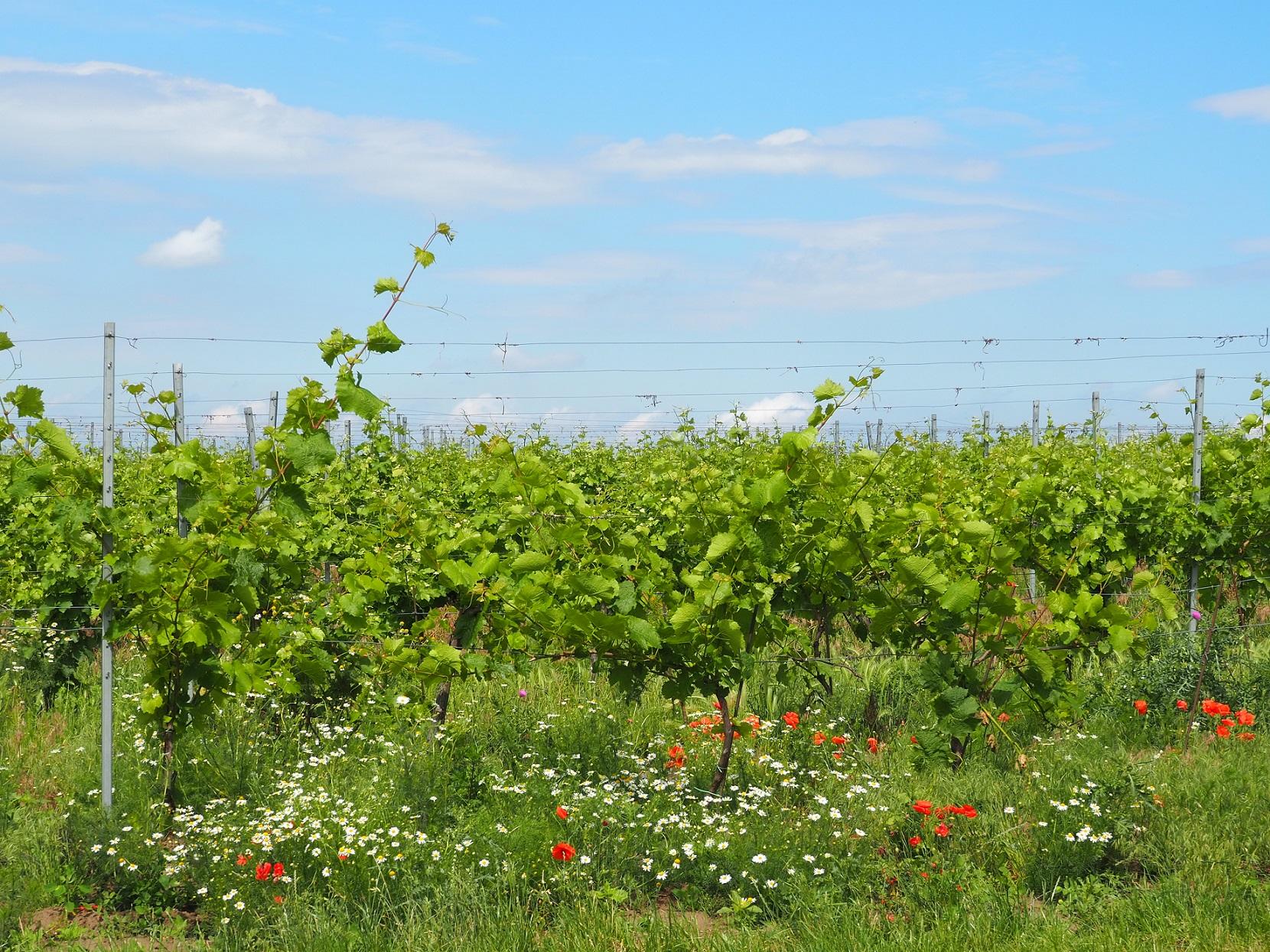 Vignes de Mikulov en Moravie-du-Sud en République Tchèque