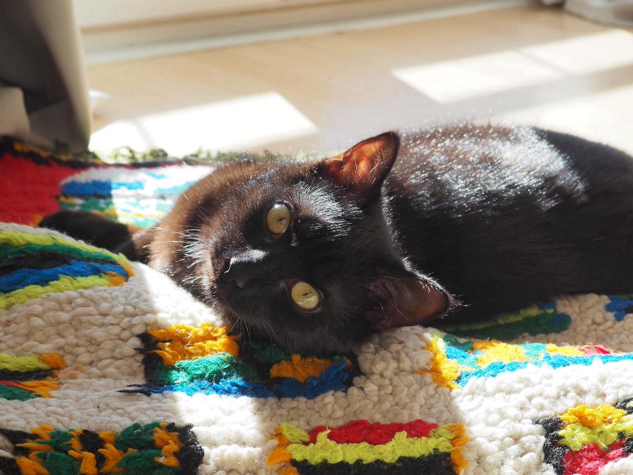 Chat noir mignon