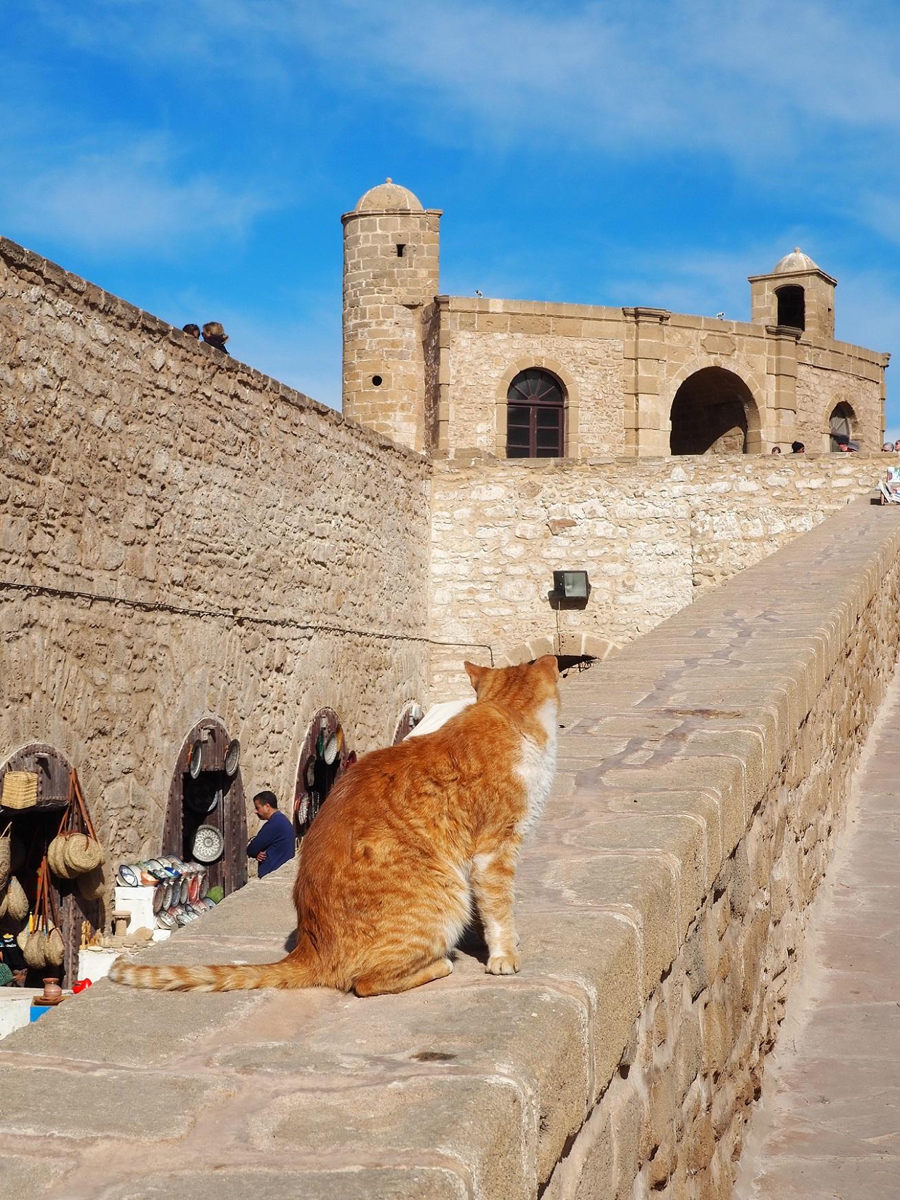 Chat roux d'Essaouira