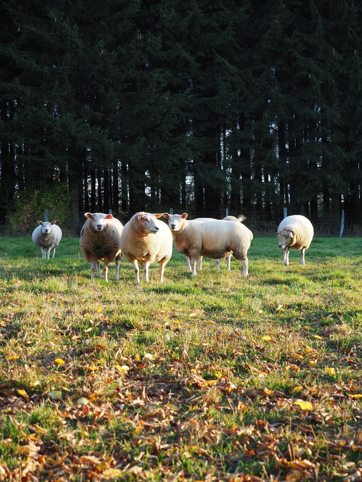 Moutons groupe de rock indépendant